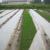 mulch film nonwoven pp spunbond  The ground of coated mulch film 100%PP spunbond nonwoven