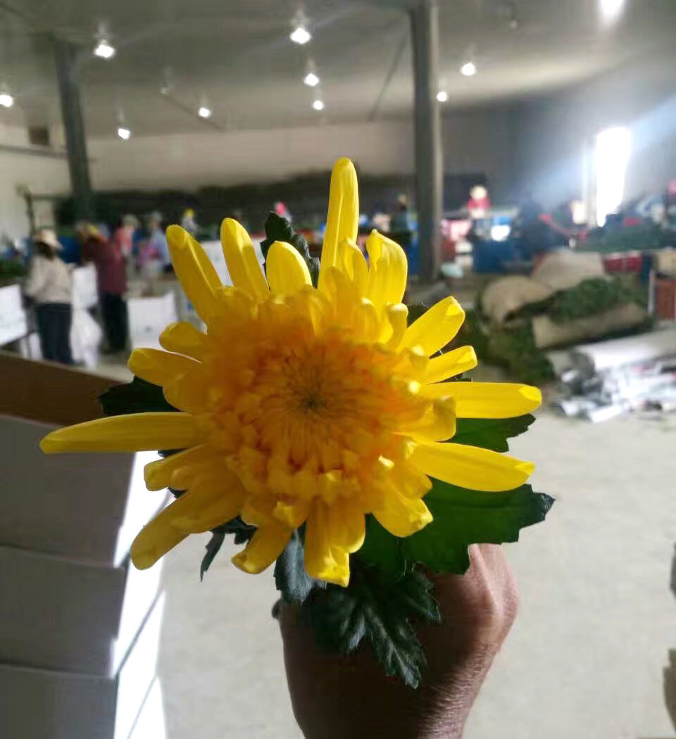 price chrysanthemum cut flower