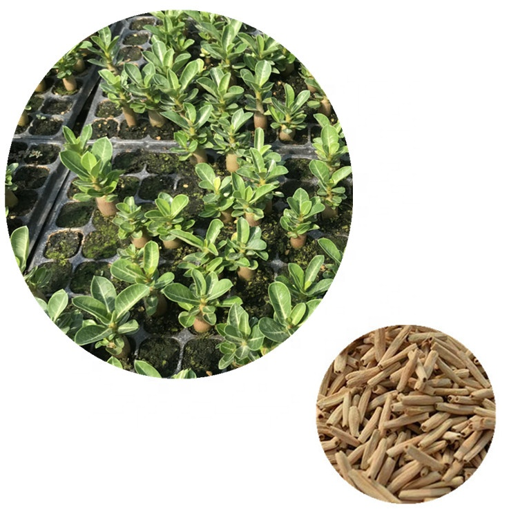 High Germination rate Desert Rose Seeds for Planting