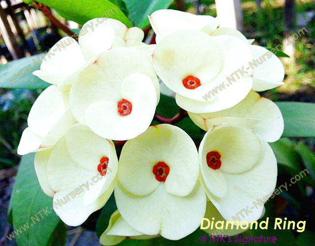 "Live Ornamental Plants and Euphorbia milii plant ""Diamond Ring"""