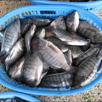 Frozen Tilapia Bream 200-300G Whole Fish Supplier / Guangdong China Tilapia