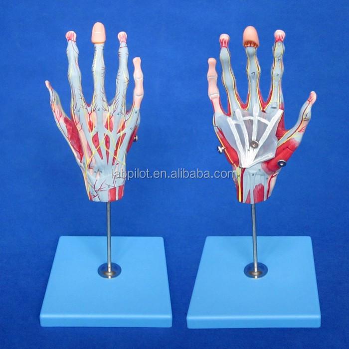 Avanzada 5 mano piezas anatomía con los músculos y los nervios ...