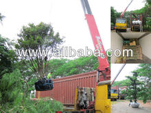 Supply Taiwan tree and plant