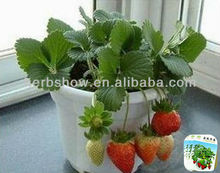 High Quality Strawberry seeds for Sale