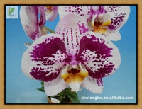 "Purple Variegated Phalaenopsis Plant in 3.5"" or 12 cm Pot Taiwan Orchid Nursery Purple Orchid"
