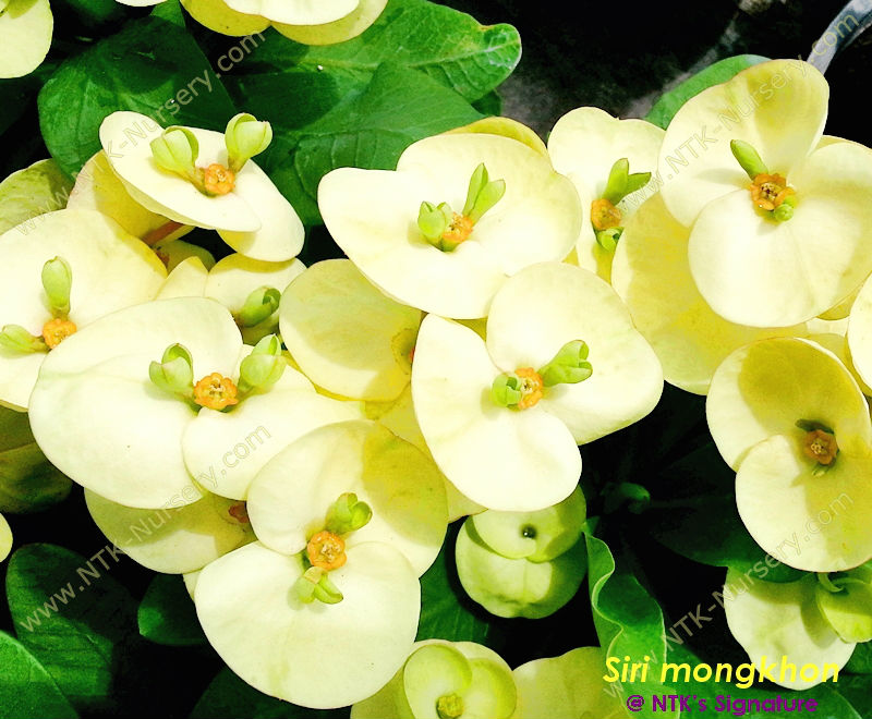 "Euphorbia milii ""Happy Gold"" , Live Ornamental Plants"