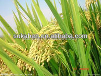 Biological organic bacterial fertilizer for rice/paddy rice