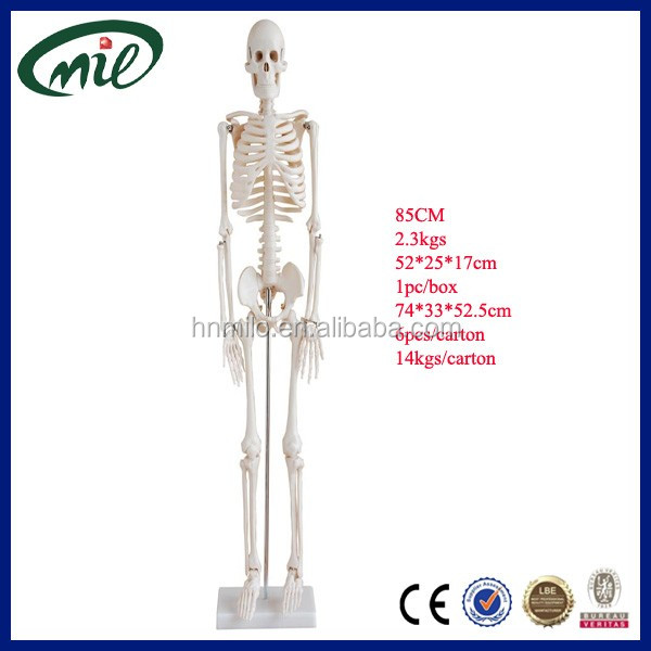 ISO 85-cm Skeleton Articulated, Full Body Human Skeleton Model