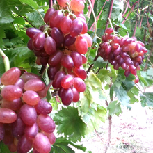 Top Quality 100% Pure Natural Grape Fruit