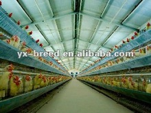 Laying Hens Chicken Breeds in farm