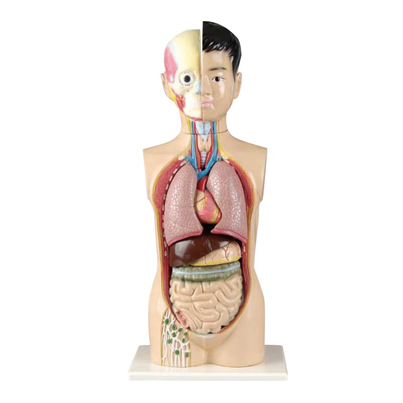 65cm Children Torso Model With 9 Parts Of Human Anatomy Models Buy