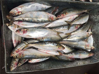 IQF Freezing Process and Bulk Packaging Frozen Fish Sardine