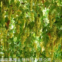 Natural High Quality 60% Grape Seed Polyphenol