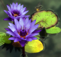 Wholesale natural plant seeds wan lian plant seeds Water Lily seeds