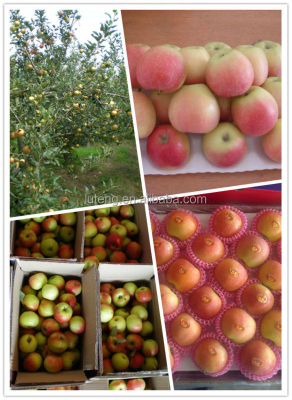 Sweet Roya gala apple red apple from Shandong province China