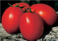 TOP QUALITY HYBRID TOMATO SEEDS