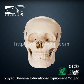 Human head model school skeleton teaching medical anatomical plastic skull model