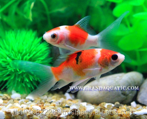 Comet Fish Farm For Sale and Export