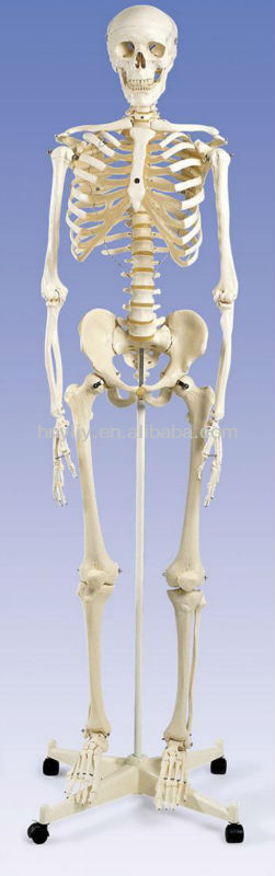 human skeleton model/ woman skeleton model for school, teaching or research