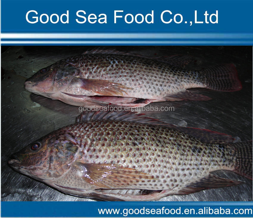 Frozen IQF raw tilapia fish whole GS
