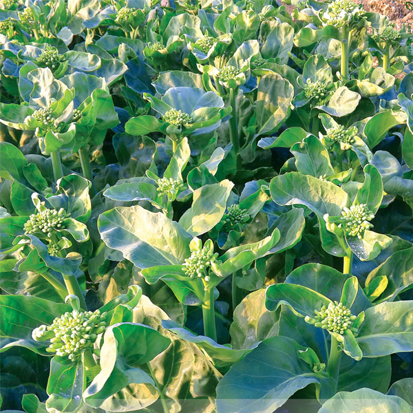 Cold Disease Chinese kale seeds, Gai Lan seeds supply