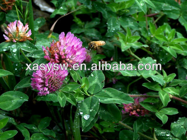 Red Clover Extract For Antibiotic/Red Clover Extract Powder