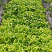 2017 Touchhealthy supply fast-growing. Suitable for planting throughout the country lettuce seeds