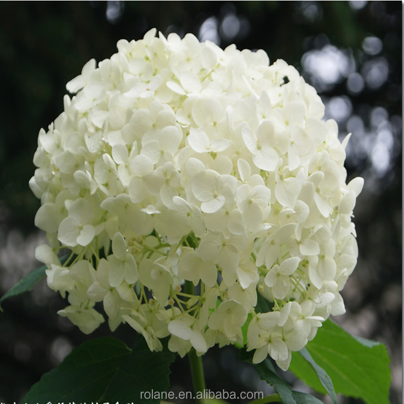 Dubai Fresh Flower Importers Hydrangea Fresh Flower For Sale From Kunming China