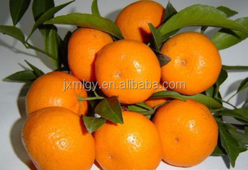 big fresh xunwu mandarin orange citrus fruit