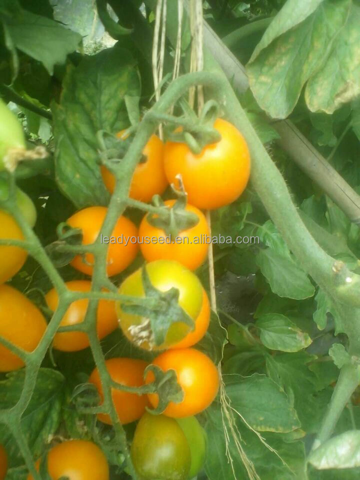 TY01 Huangzuan oval shape f1 hybrid yellow cherry tomato seeds
