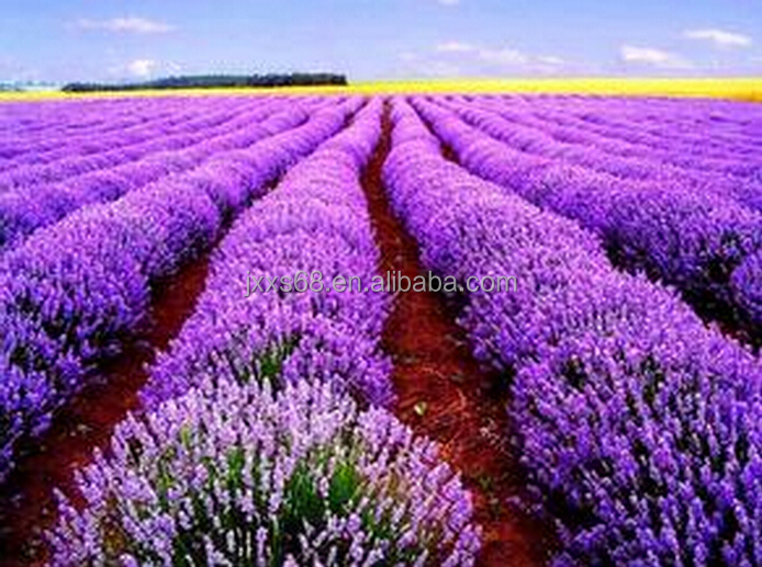 GMP factory supply 100% pure natural lavender oil low price