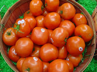 farm fresh tomatoes for sale, wholesale factory of fresh tomato paste