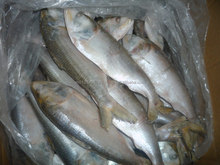 FROZEN DOTTED GIZZARD SHAD FISH W/R - SIZE 4/6