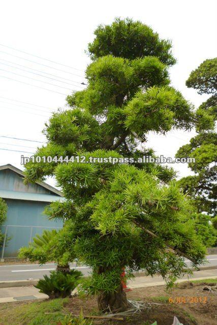 Jardim Zen japonês ao ar livre Bonsai planta bom preçoPlantas