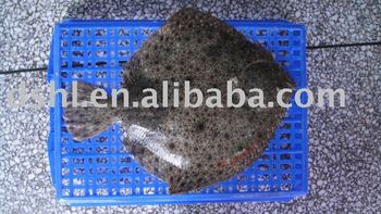 Turbot fish buy turbot turbot fish turbot product on for Turbot fish price