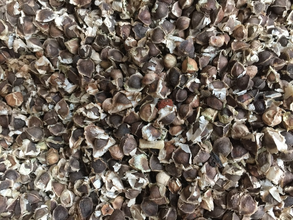 MORINGA Oliferia Seeds