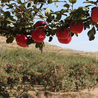 Fresh fuji apple fresh apple fruit from Jingning Gansu
