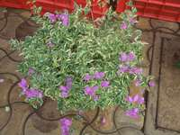 Bougainvillea Hanging basket Planter