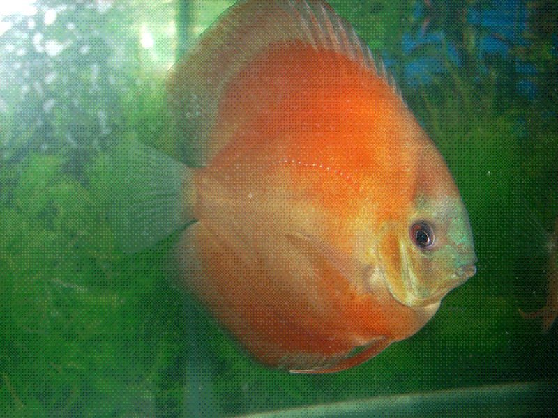 Blue Face Sun Merah fish