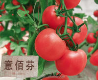 Yibaifen high yield tomato seeds (8000-10000USD/kg)