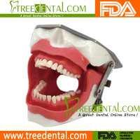 M8020 Oral Local Anaesthesia Model dental teeth study model