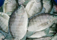 Frozen fish Frozen Tilapia for sale