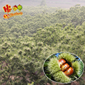 New crop fresh specification chestnuts