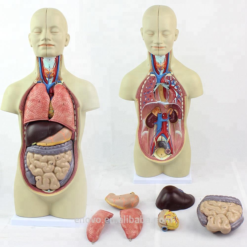 Enovo Wholesale 12012 Torso Anatomy Mini 12 Parts 45cm Sexless Torso