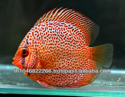 Discus fish farm for sale and export
