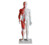 Acupuncture&Muscle Model 60CM Male