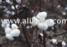 Indian Raw Cotton Shankar-6