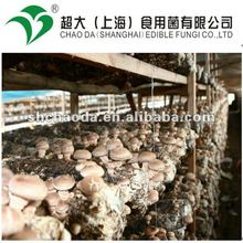 winter shiitake mushroom cultivation
