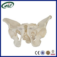 Medical human life-size pelvis skeleton model, Adult male pelvis
