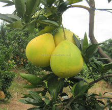 New crop fresh grapefruit guanxi pomelo